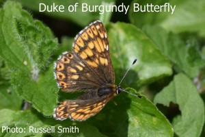 Duke-of-Burgundy-LH