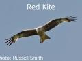 Red-Kite1