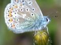 Common-Blue-male_DSC_0015