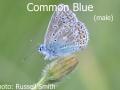 Common-Blue-male_DSC_0811