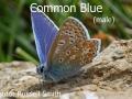 Common-Blue-male_DSC_1258