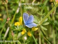 Common-Blue2-male