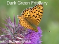 Dark-Green-Fritillary-DSC_1079