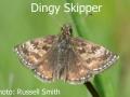 Dingy-Skipper_DSC_0496