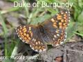 Duke-of-Burgundy_DSC_0487
