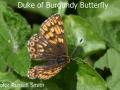 Duke-of-Burgundy_DSC_0790