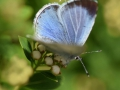 Holly-Blue-female_DSC_0159
