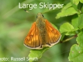Large-Skipper_DSC_0757