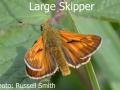 Large-Skipper_DSC_0784