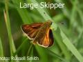 Large-Skipper_DSC_1014
