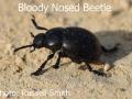 Bloody-Nosed-Beetle-DSC_0040