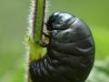 Bloody-Nosed-Beetle-Larva-DSC_0651