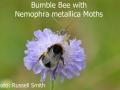 Bumblebee-with-Nemophra-metallica-moths-DSC_0130