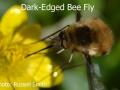 Dark-Edged-Bee-Fly-DSC_0035