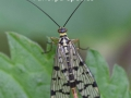 Scorpion-Fly_Panorpa-sp_DSC_0655
