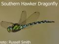 Southern-Hawker-Dragonfly-DSC_1430