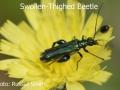 Swollen-Thighed-Beetle-DSC_0657