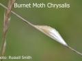 Burnet-Moth-Chrysalis-DSC_1119