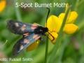 Five-Spot-Burnet-Moth-DSC_0032