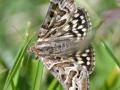 Mother-Shipton-Moth-DSC_0662