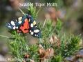 Scarlet-Tiger-Moth-DSC_0029