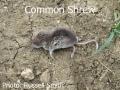 Common-Shrew-093