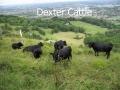 Dexter-Cattle-3a