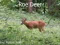 Roe-Deer-DSC_0846