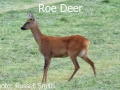 Roe-Deer_DSC_0803