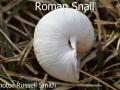 Roman-Snail_DSC_0033