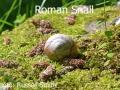 Roman-Snail_DSC_0037