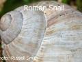 Roman-Snail_DSC_0085