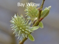 Bay-Willow-DSC_0064
